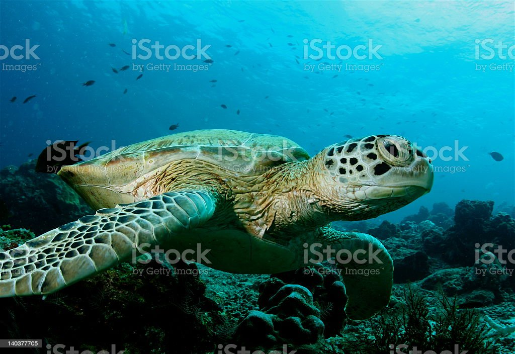 Sea turtle swimming in clear blue water stock photo