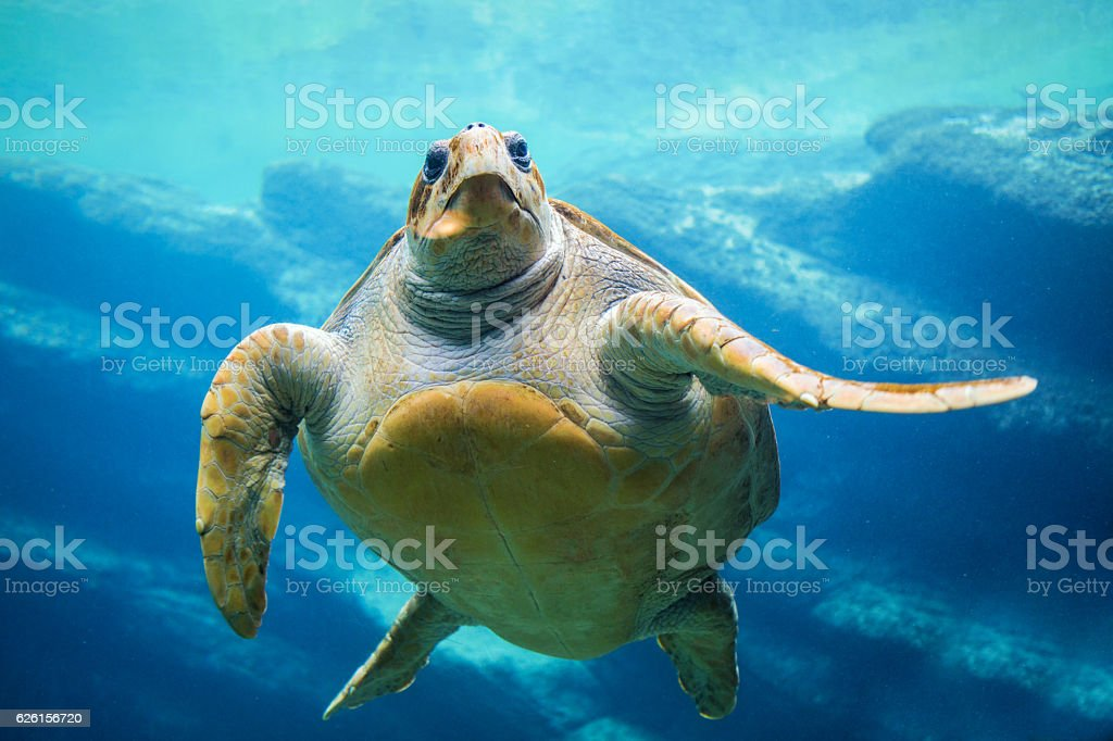Sea Turtle swimming in ocean stock photo
