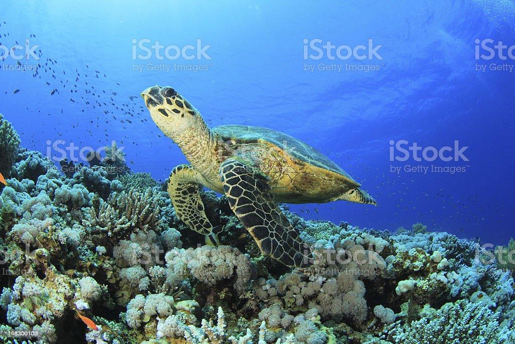 Sea turtle swimming near coral reef stock photo