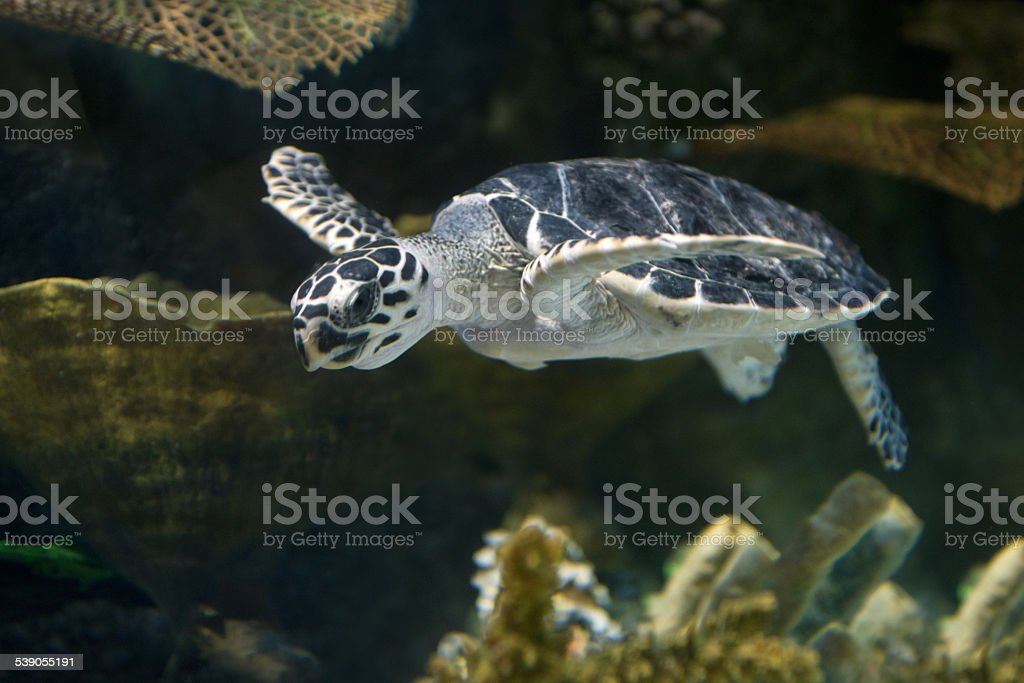Sea Turtle swimming over a reef stock photo