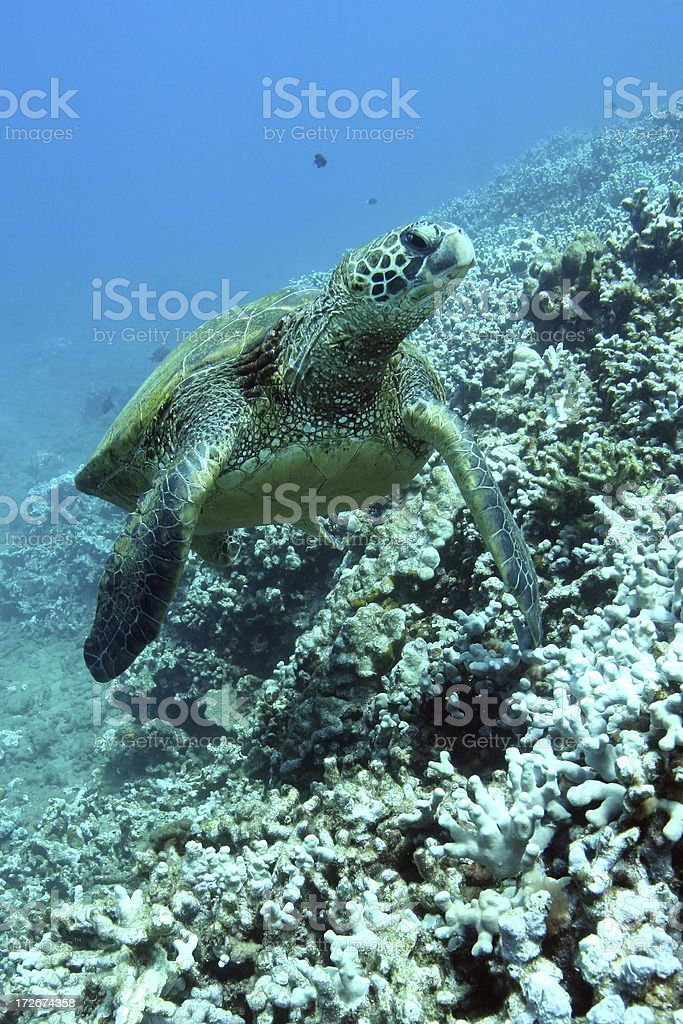 Tortue de mer nager plus de corail photo libre de droits