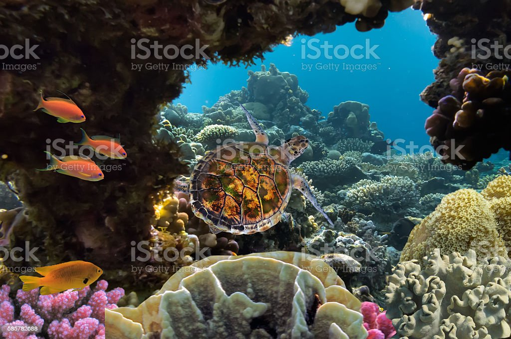 sea turtle swimming over coral reef stock photo