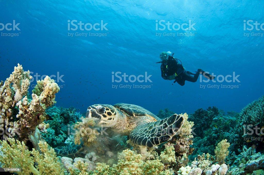 Sea Turtle with scuba diver stock photo