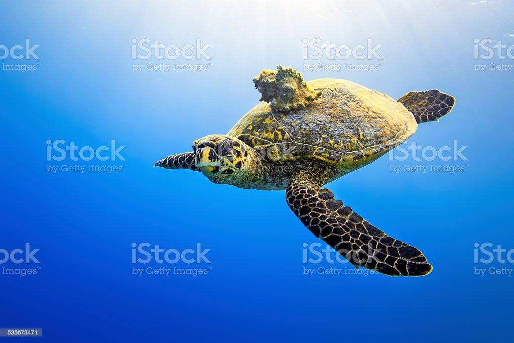Sea turtle with Seashell on blue ocean stock photo