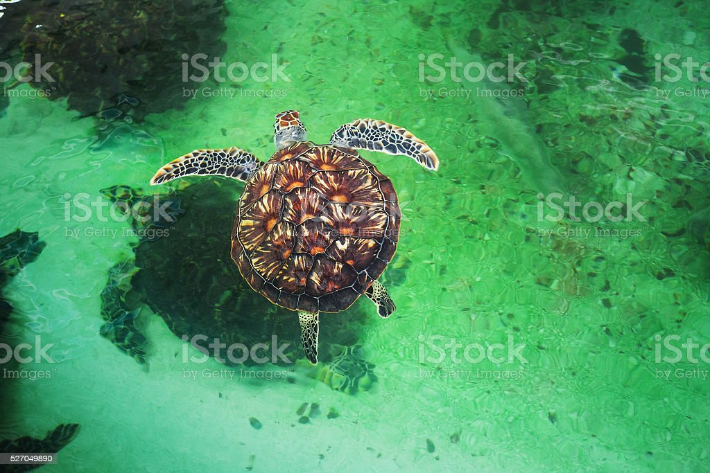 Sea turtles in the pool stock photo