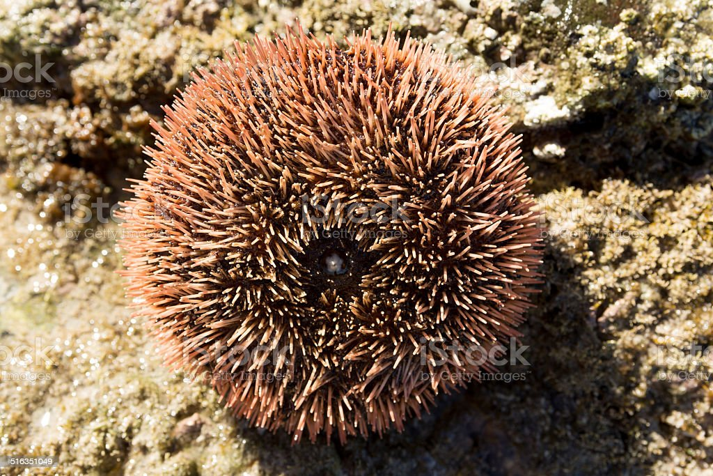 sea urchin closeup stock photo