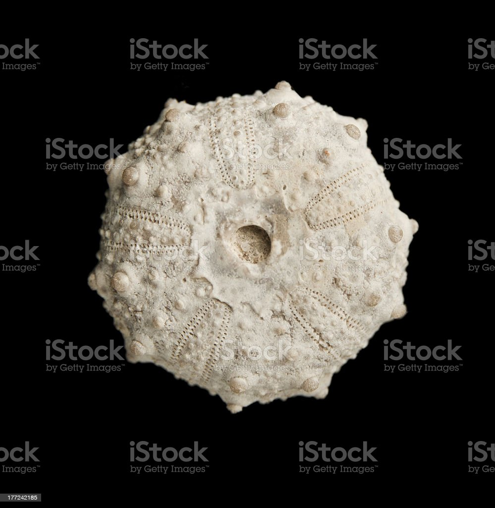 Sea urchin fossil isolated on black top view. stock photo