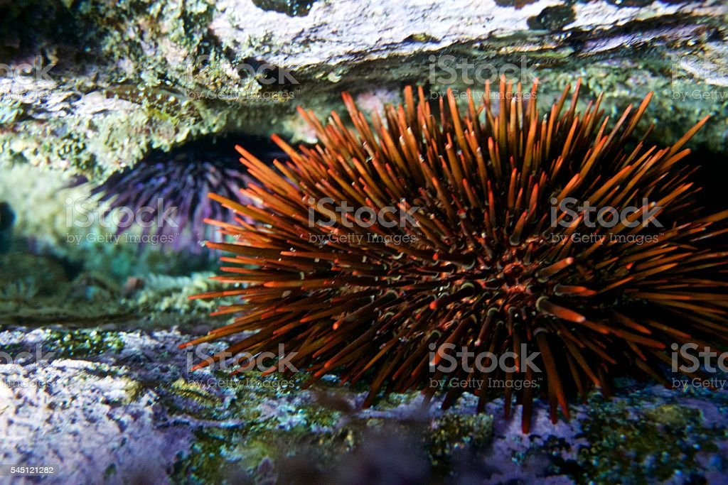 Sea urchin in crevice stock photo