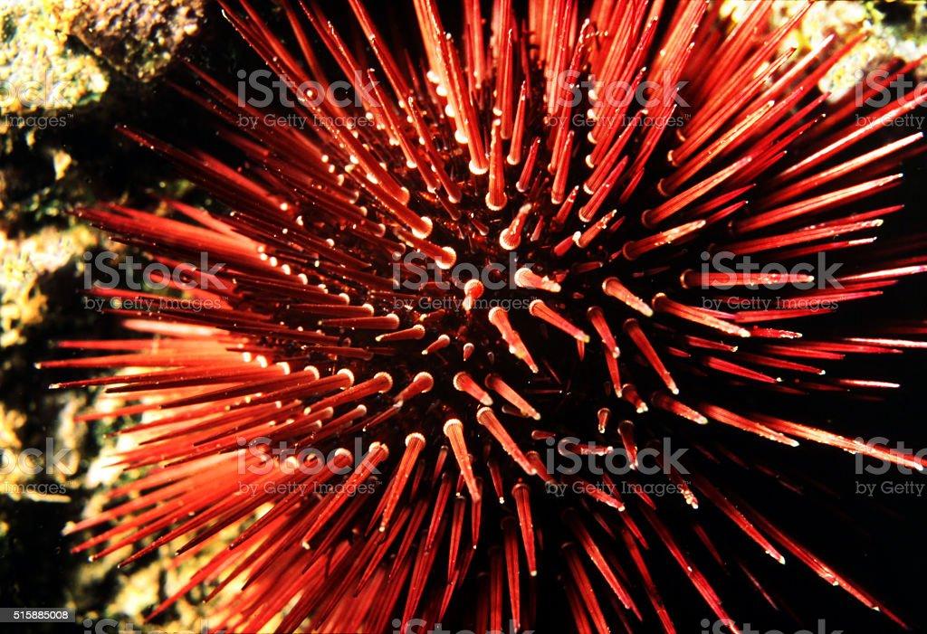 Sea urchin on a cliff outside Sardinia, Italy. stock photo