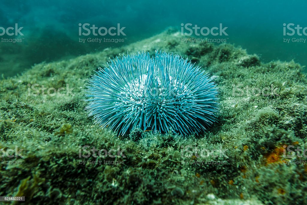Sea Urchin on a Reef at Arrail do Cabo, Brazil stock photo