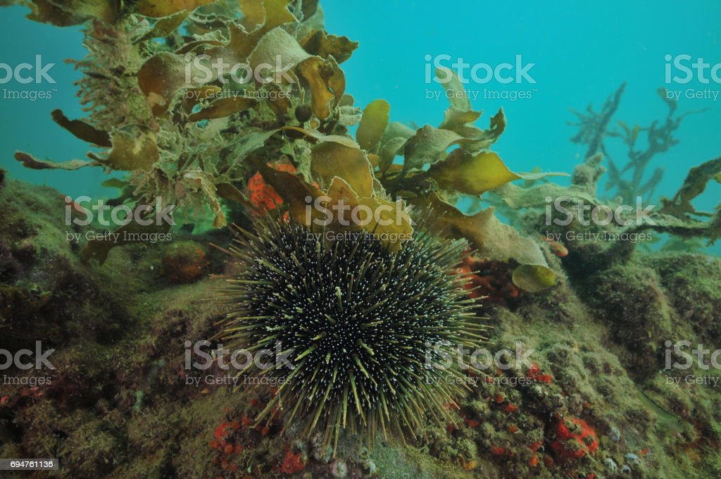 Sea urchin on rock stock photo