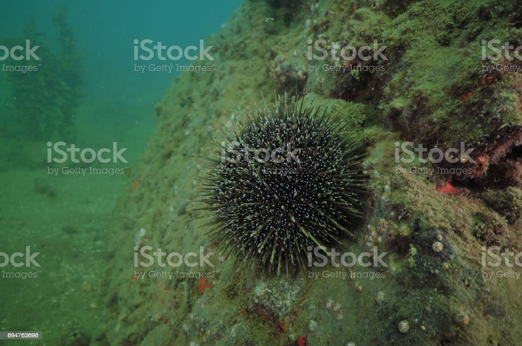 Sea urchin on wall stock photo