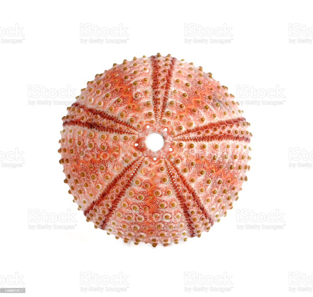sea urchin royalty-free stock photo
