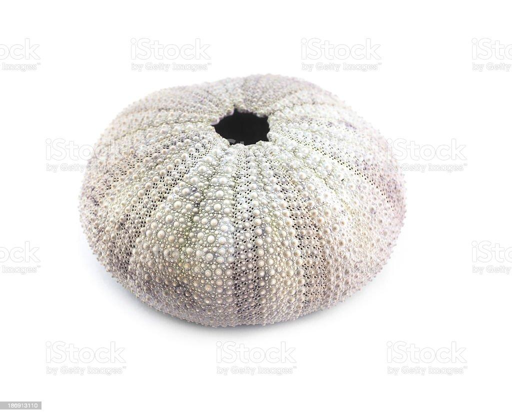 Sea urchin shell. stock photo