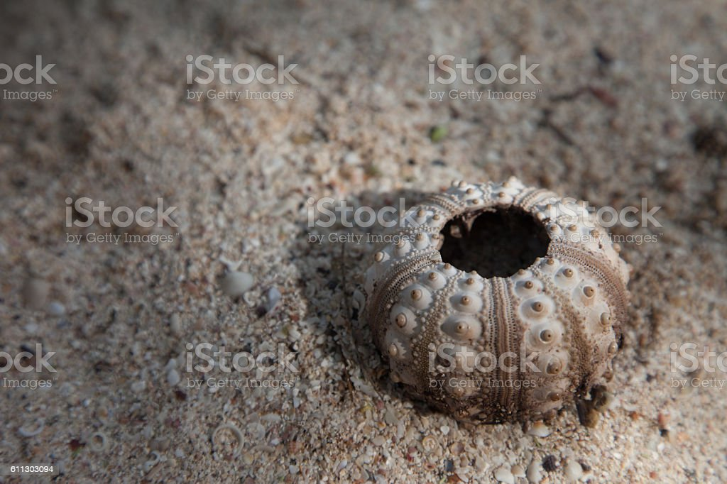 Sea Urchin Shell stock photo