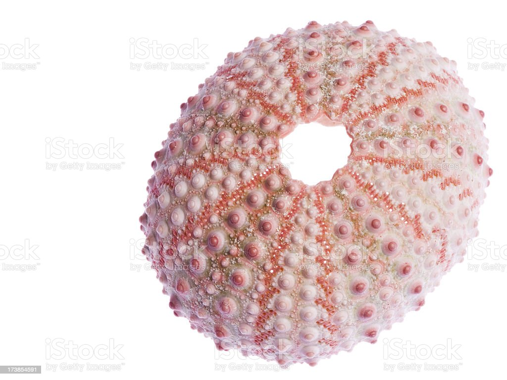 'Sea Urchin Shell, Pink, Translucent, Isolated on White, Sea-Life' stock photo