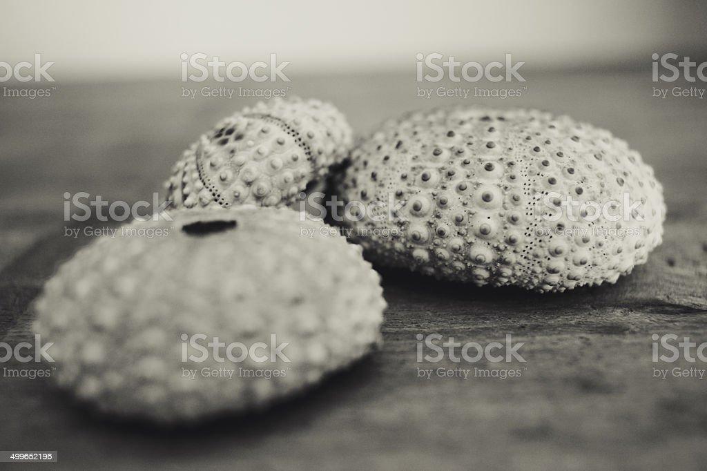 Sea urchin Shells in Black and White stock photo