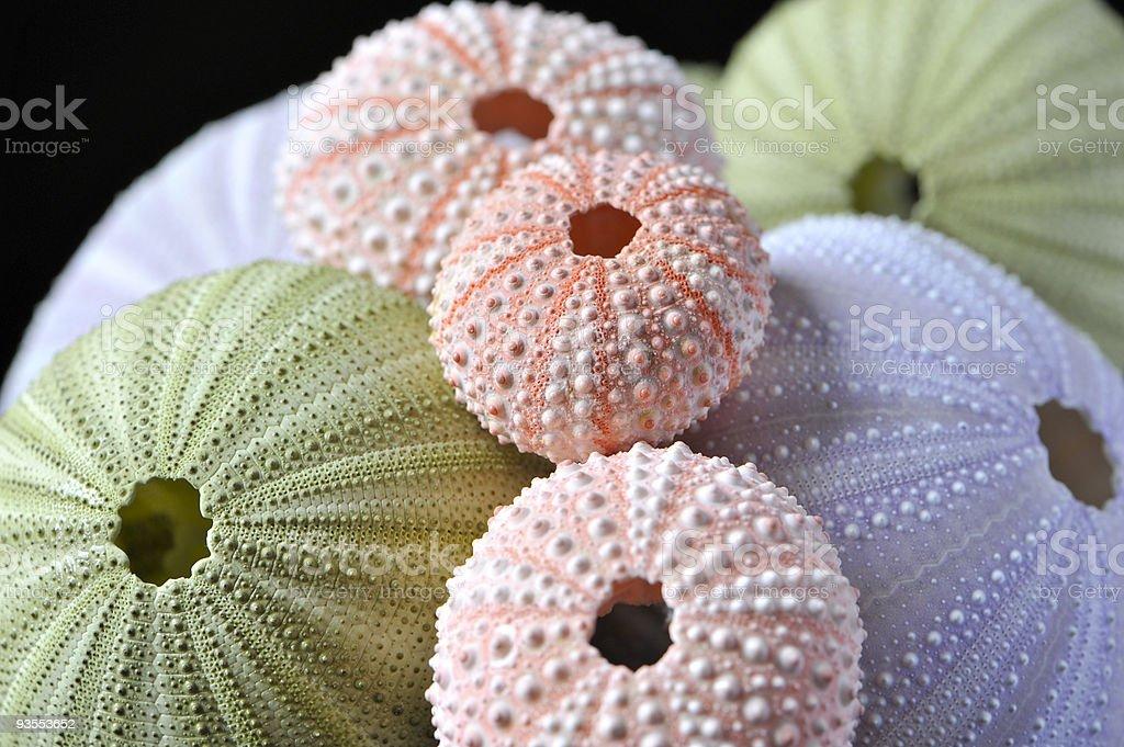 Sea urchins isolated on black stock photo