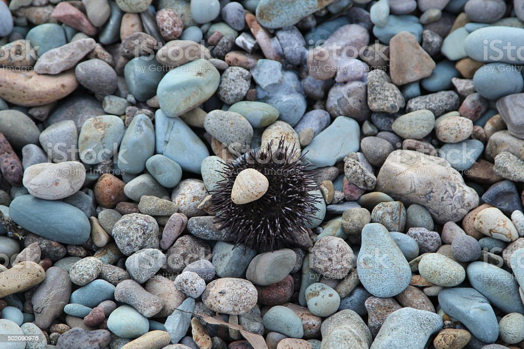 sea ​​urchins stock photo