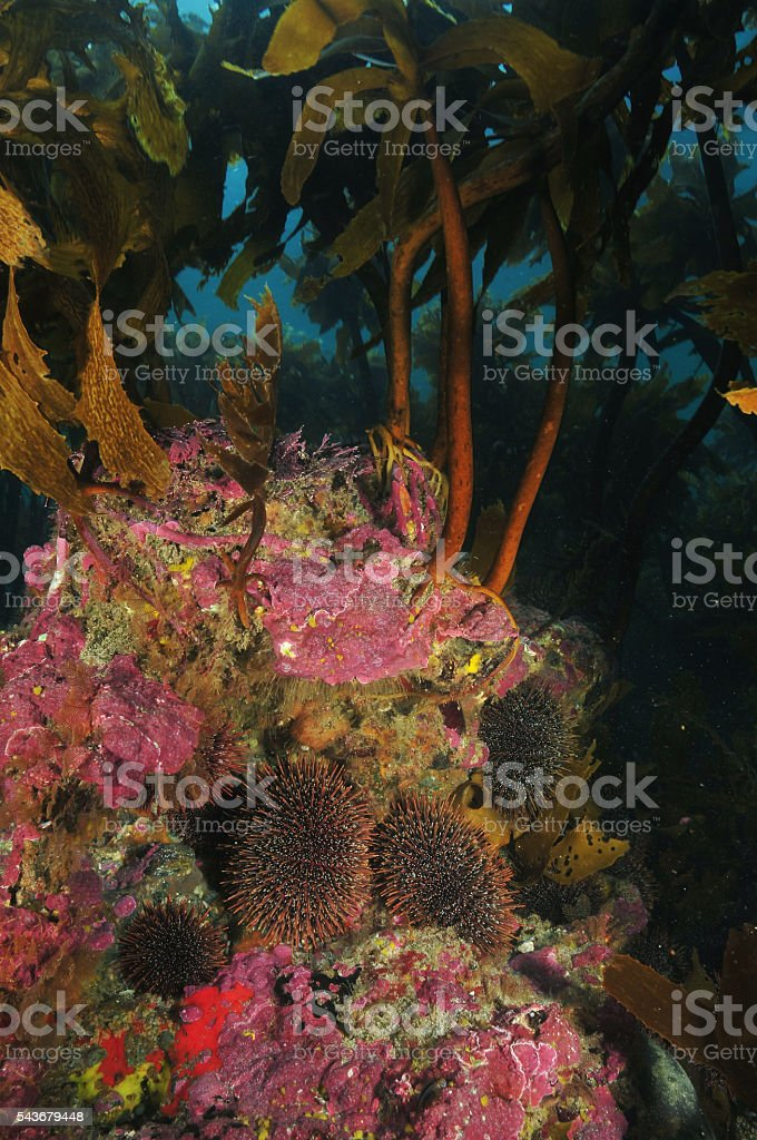 Sea urchins under kelp canopy stock photo
