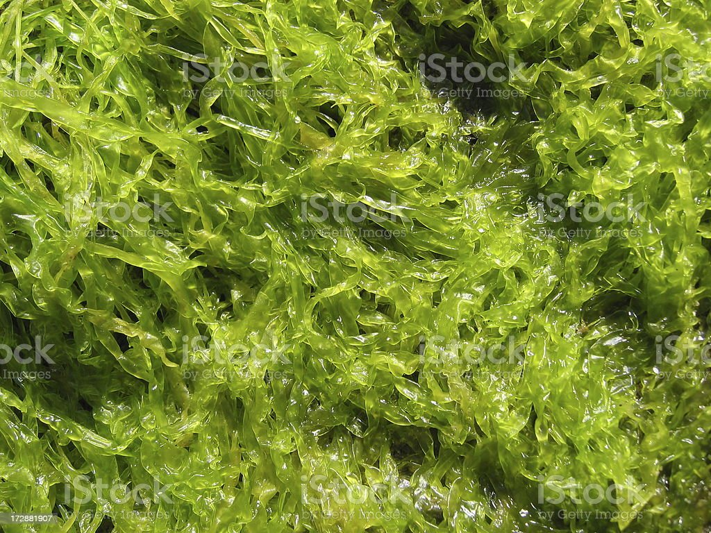 Sea Weed Texture stock photo