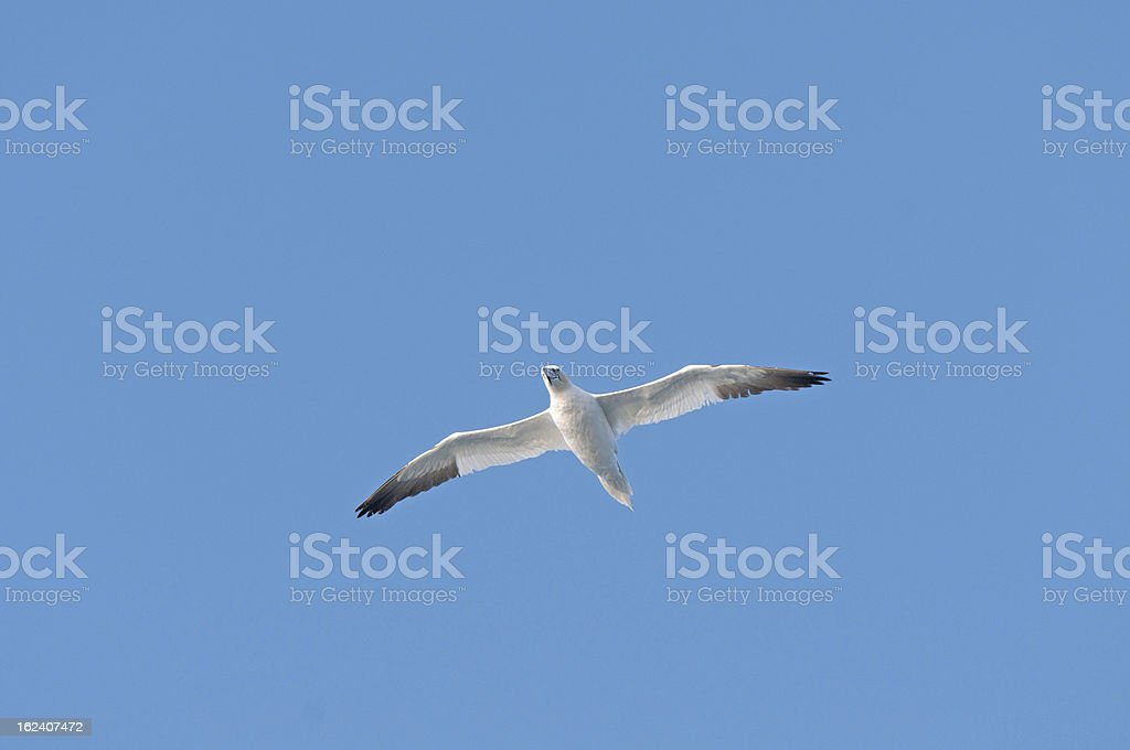 Seabird in fight over the ocean royalty-free stock photo