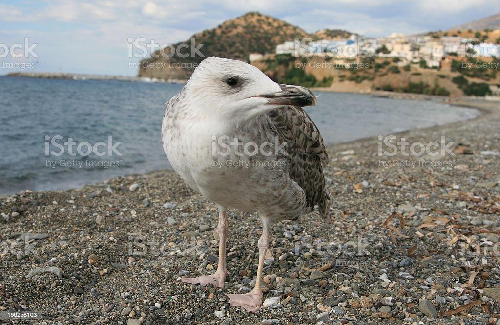 Seabird on the background of Agia Galini - Crete Island stock photo