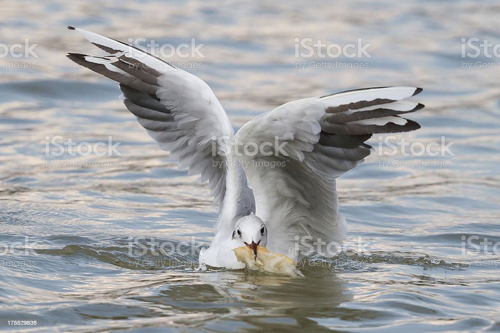 Seabird on the water royalty-free stock photo