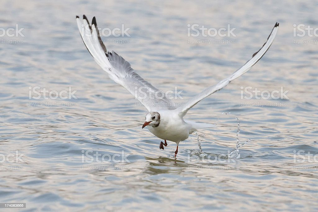 Seabird royalty-free stock photo