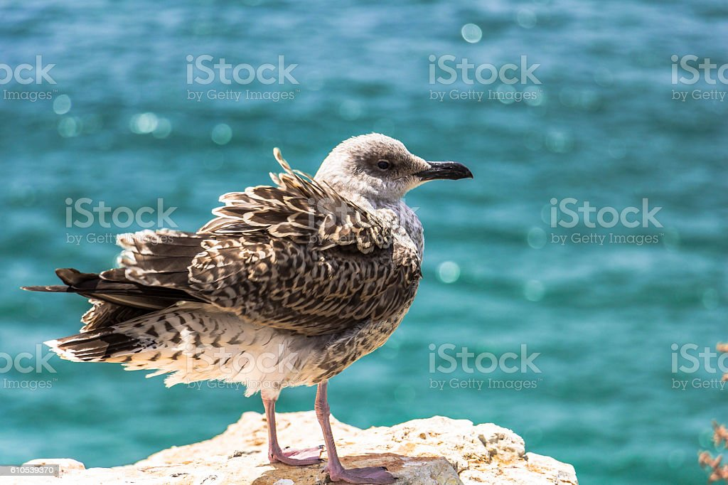 seabird sitting on a rock, Algarve, Portugal stock photo