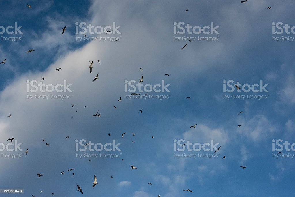 Seabirds circel the air stock photo