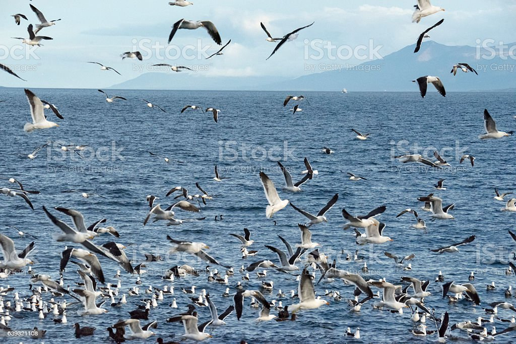 Seabirds circel the air stock photo