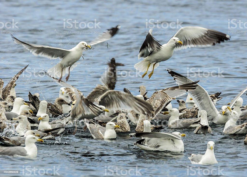 Seabirds Feeding Frenzy On Sand Eels royalty-free stock photo