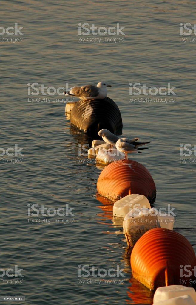 seabirds in sunset stock photo