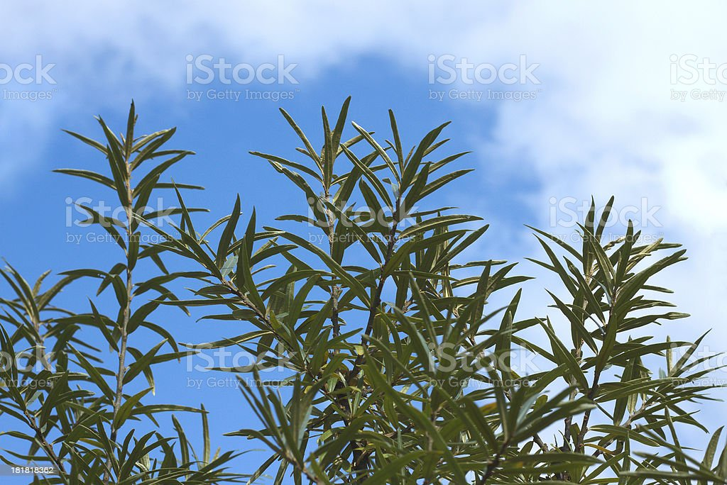 Sea-buckthorn branches top over sky with clouds close up stock photo