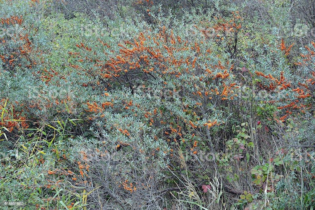 Seabuckthorn bushes on Hiddensee island (Germany) stock photo