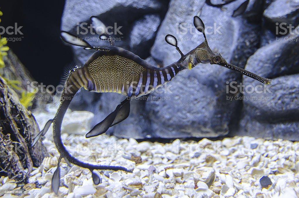 Seadragon (3) stock photo