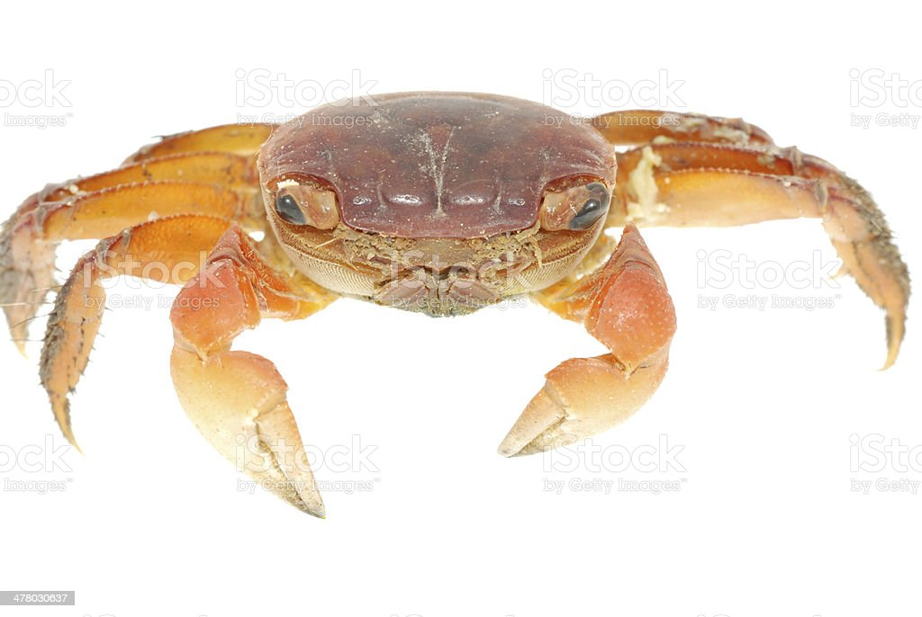 seafood animal red crab isolated royalty-free stock photo