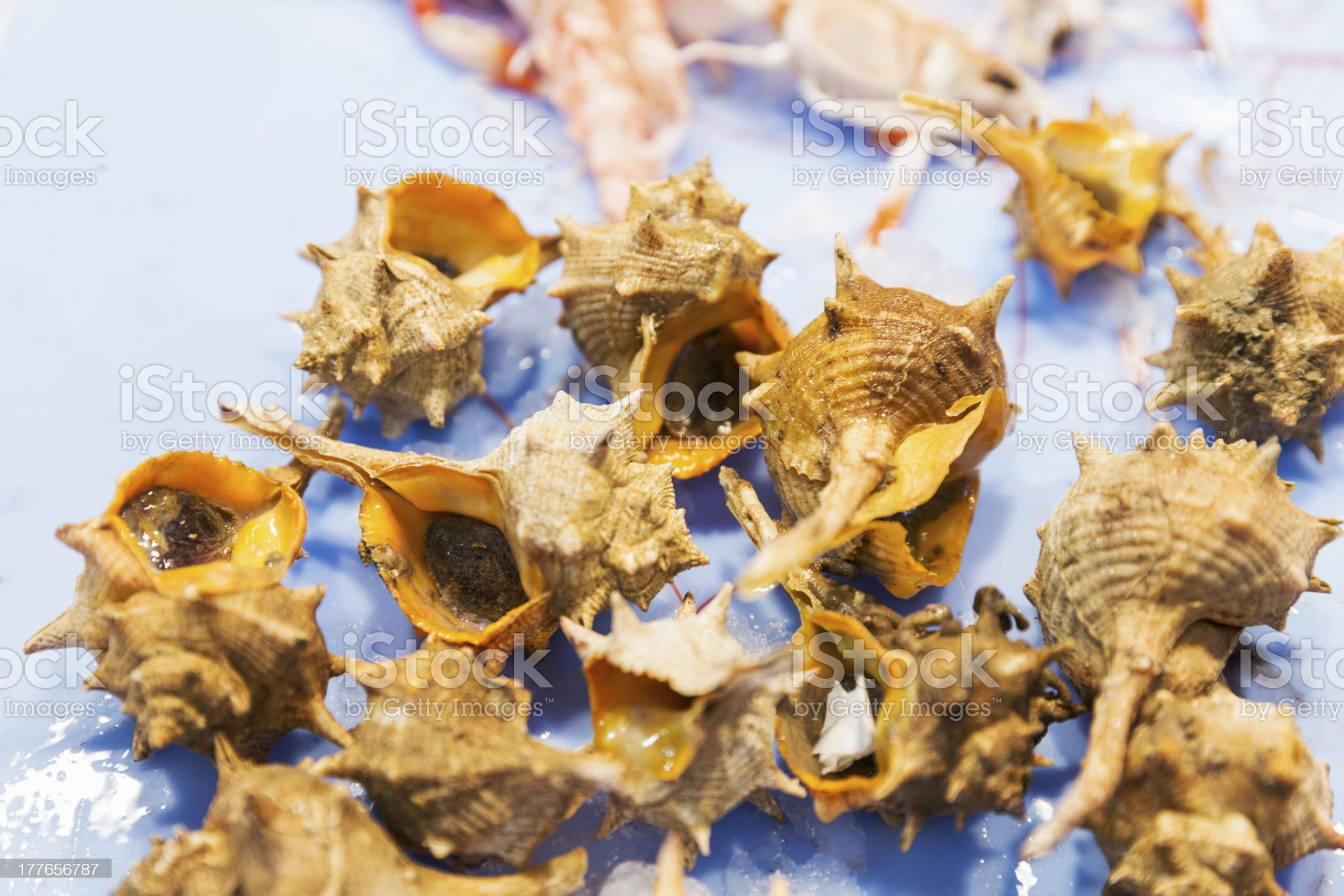 Seafood variety - Bolinus brandaris shell royalty-free stock photo