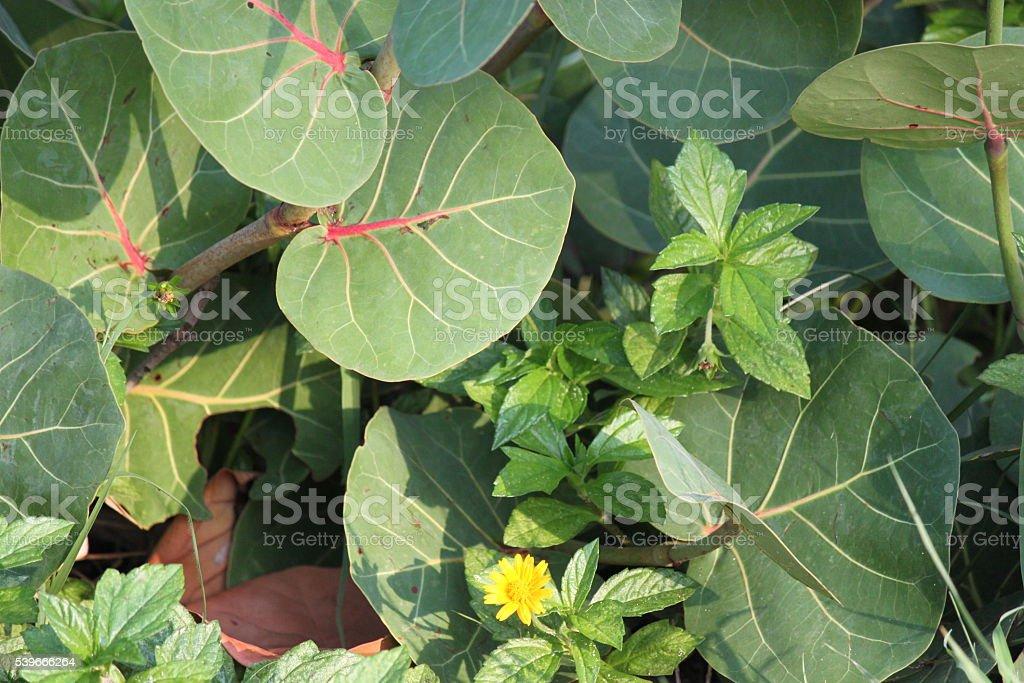 Seagrape Plant stock photo