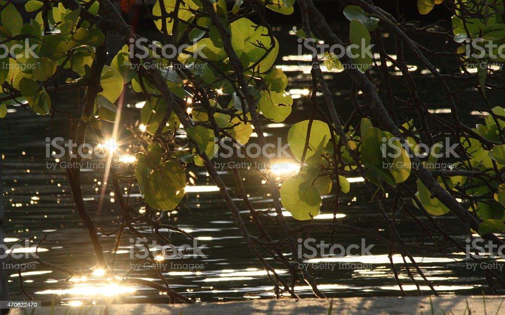 Seagrape tree with sun-bursts stock photo