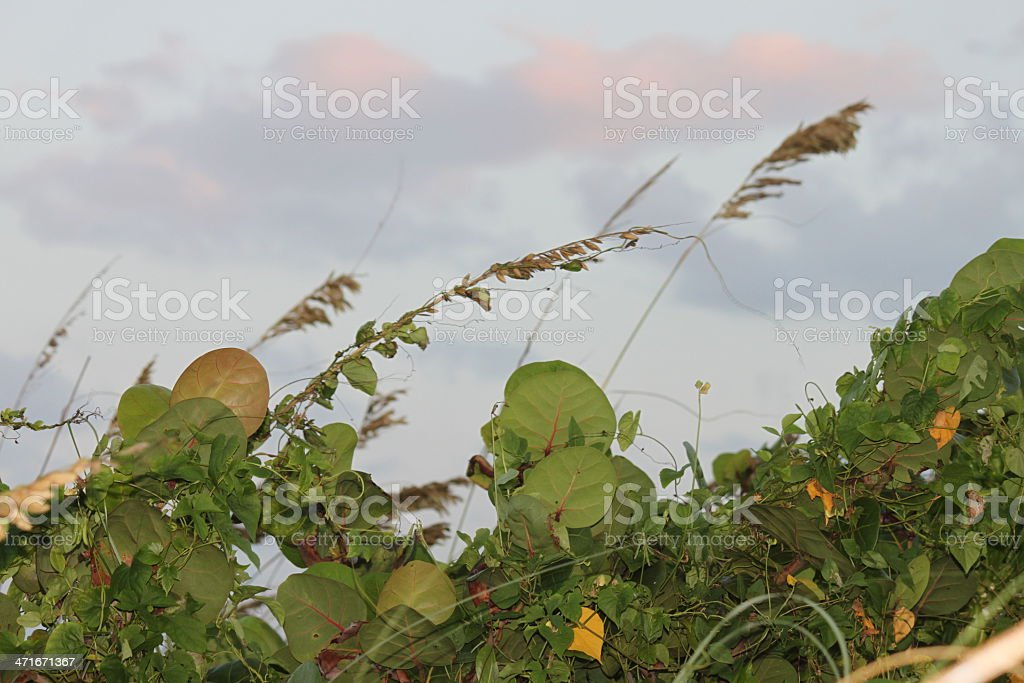 Seagrass and seagrape at the ocean. stock photo
