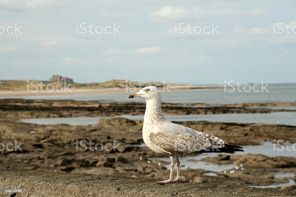 Seagul on Northmbrian Coastline royalty-free stock photo