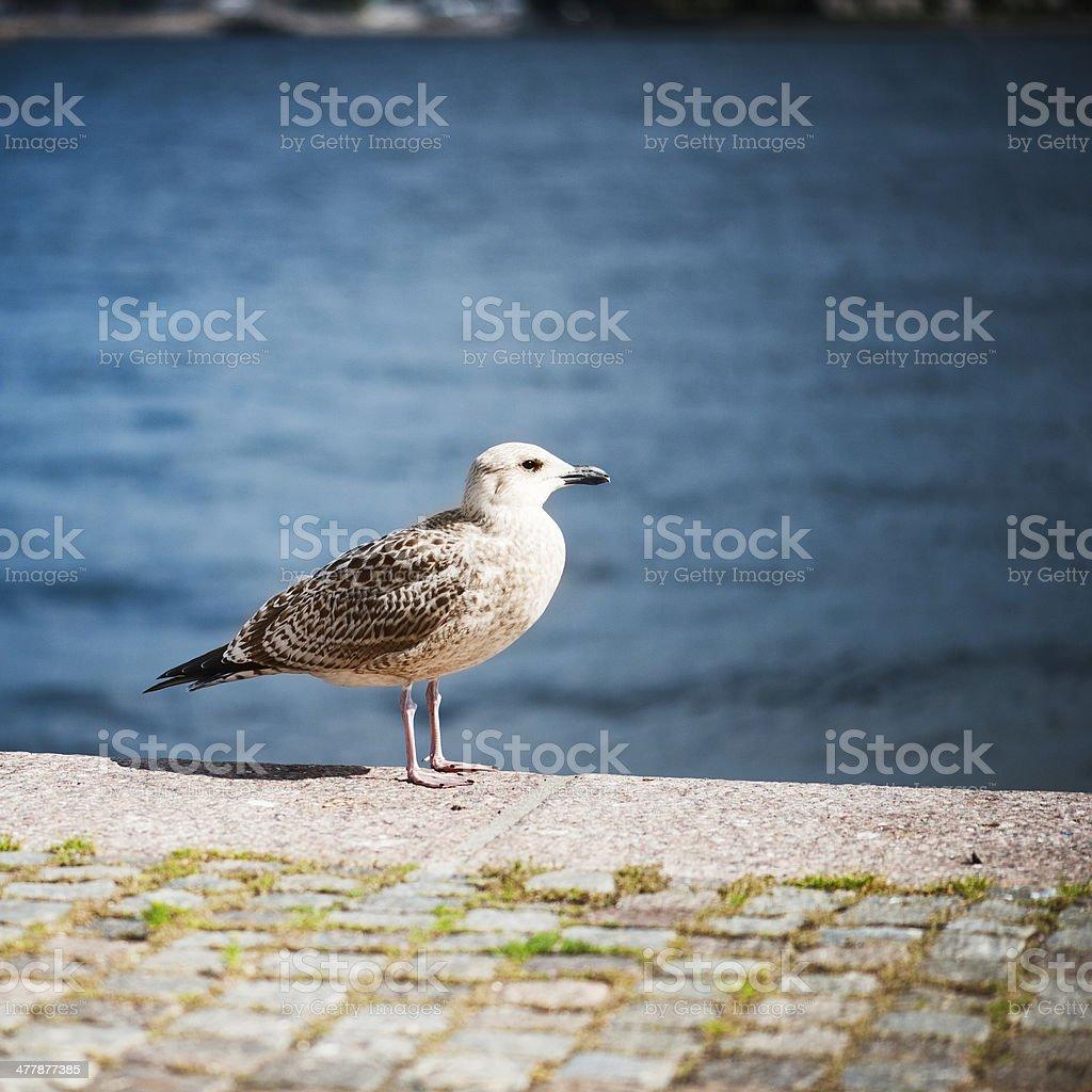 Seagul royalty-free stock photo