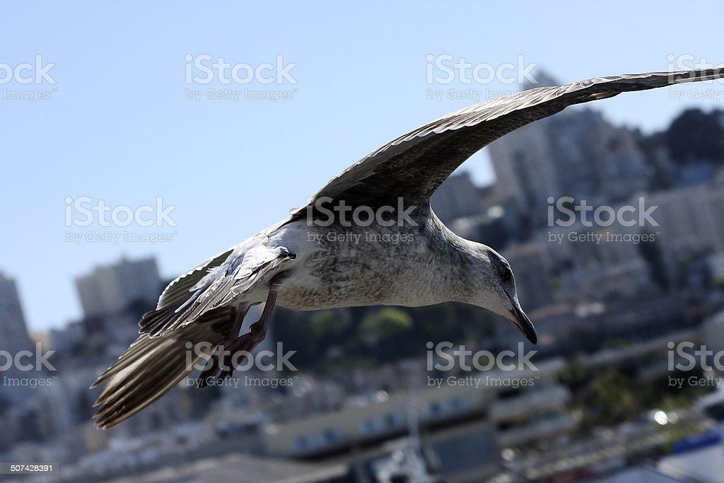 Seagull above San Francisco stock photo