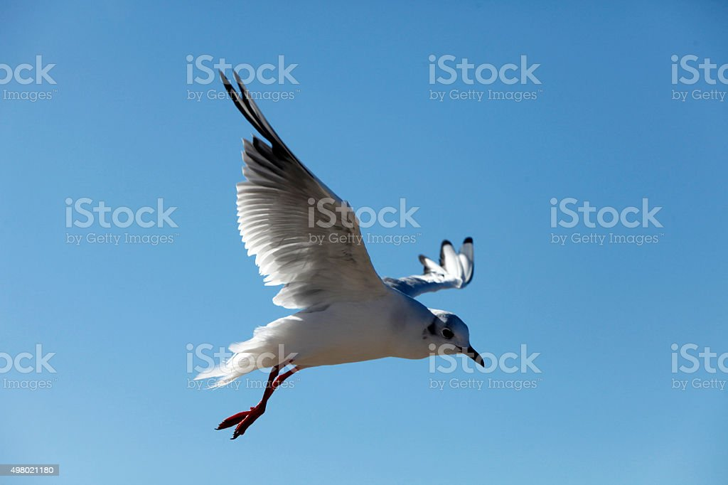 Seagull against the blue sky stock photo