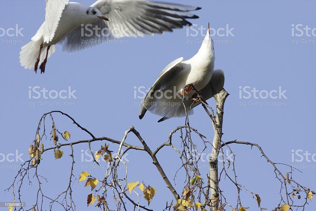 Seagull aggressive behaviour stock photo