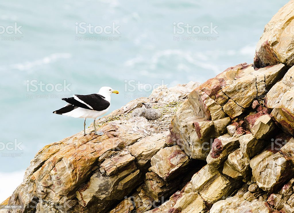 Seagull and chicks on rocks royalty-free stock photo