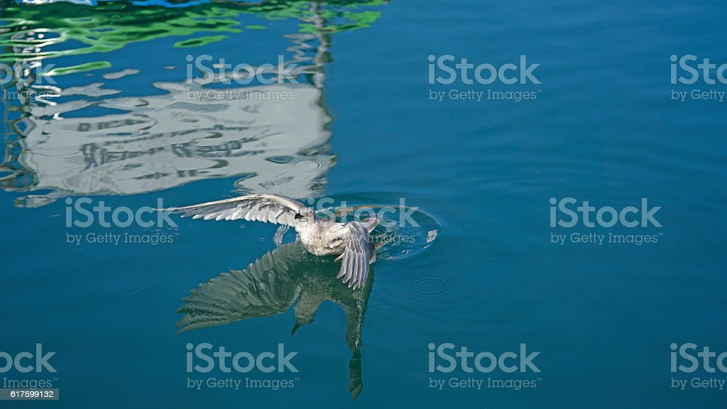 Seagull and its reflection in the water stock photo