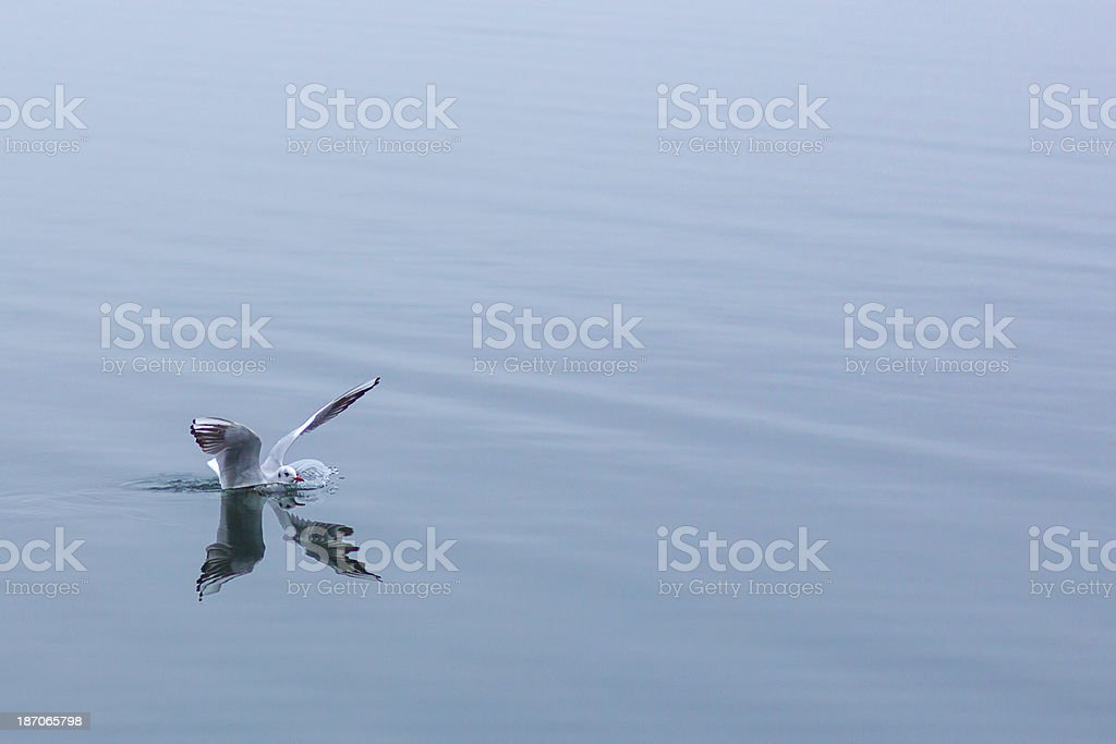 Seagull and lake royalty-free stock photo